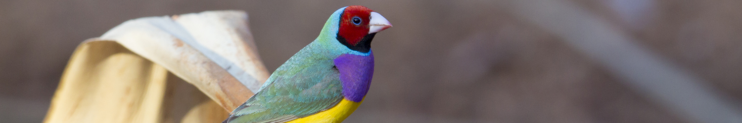 Gouldian Finch (Red-faced Male)