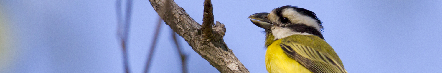 Northern Shrike-tit