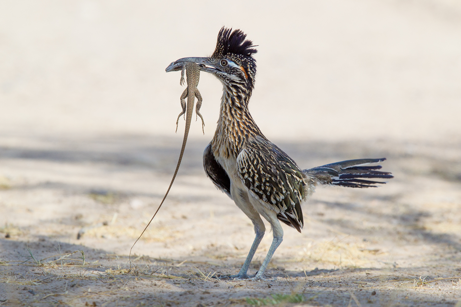 Greater Roadrunner3