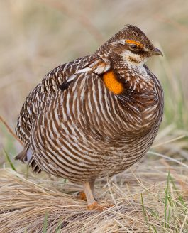 SEEING A DISPLAYING MALE GREATER PRAIRIE CHICKEN