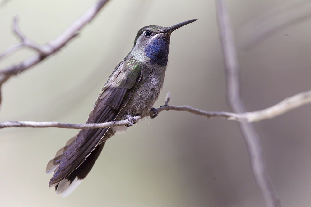 Blue-throated Hummingbird2019