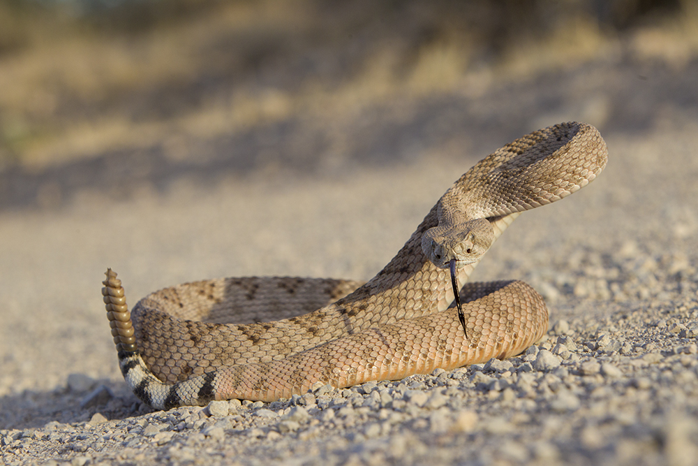Diamond-backed Rattlesnake2040