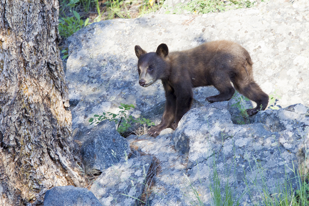 Black Bear (Cinnamon Cub)