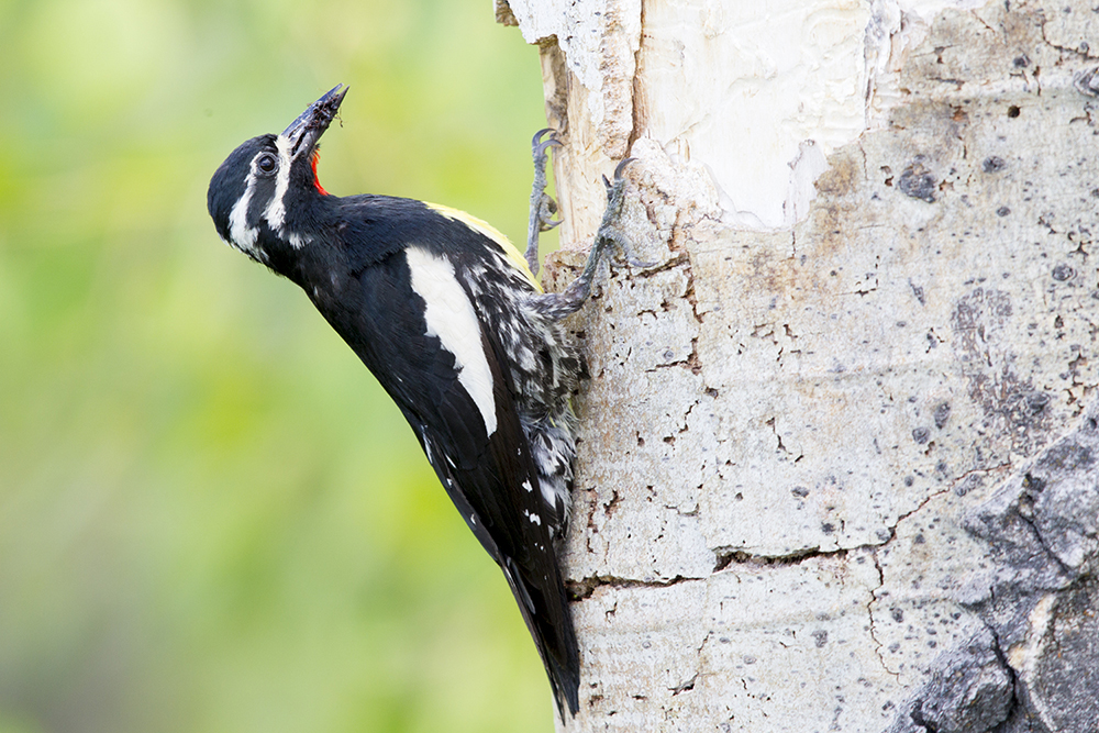 Williamson's Sapsucker (Male at nest)