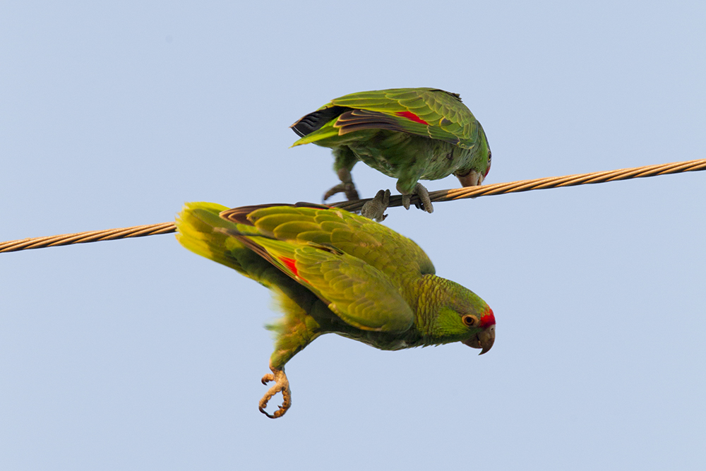 Red-crowned Parrot5845