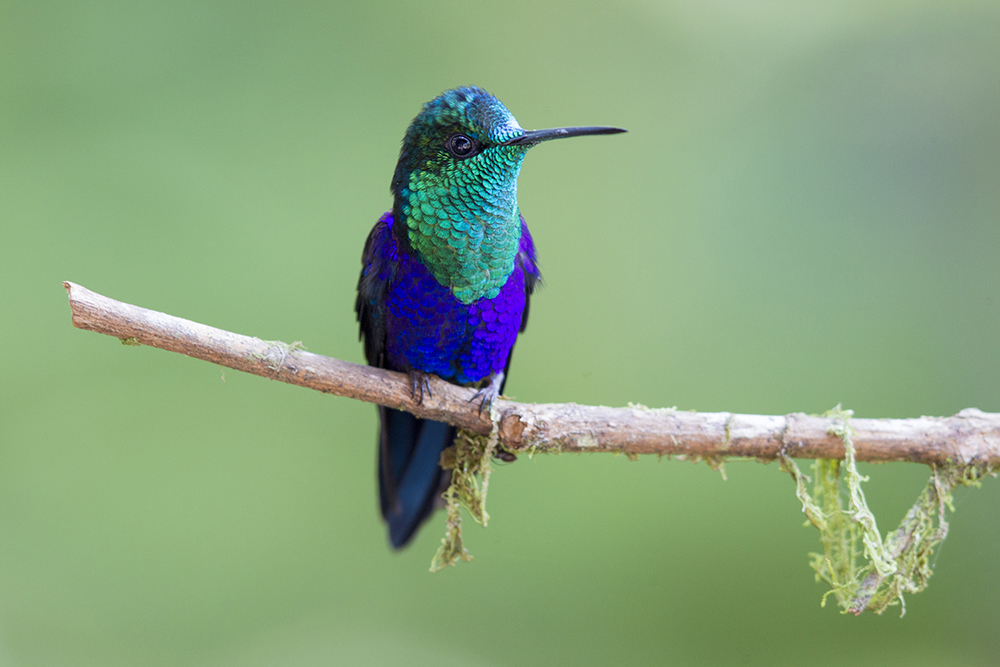 Green-crowned Woodnymph (Male) - Milpe, Ecuador