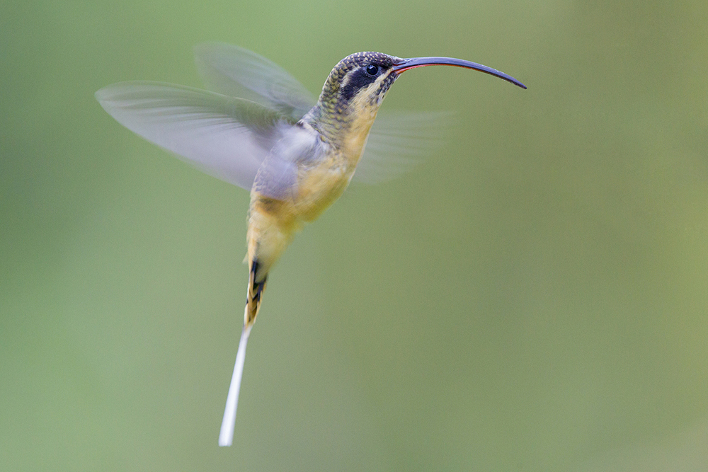 Tawny-bellied Hermit - Paz De Aves (Ant Hill Pass), Ecuador