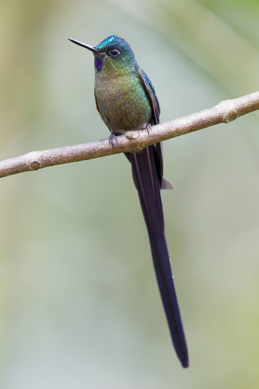 Violet-tailed Sylph (Male perched) - Tandayapa Lodge, Ecuador