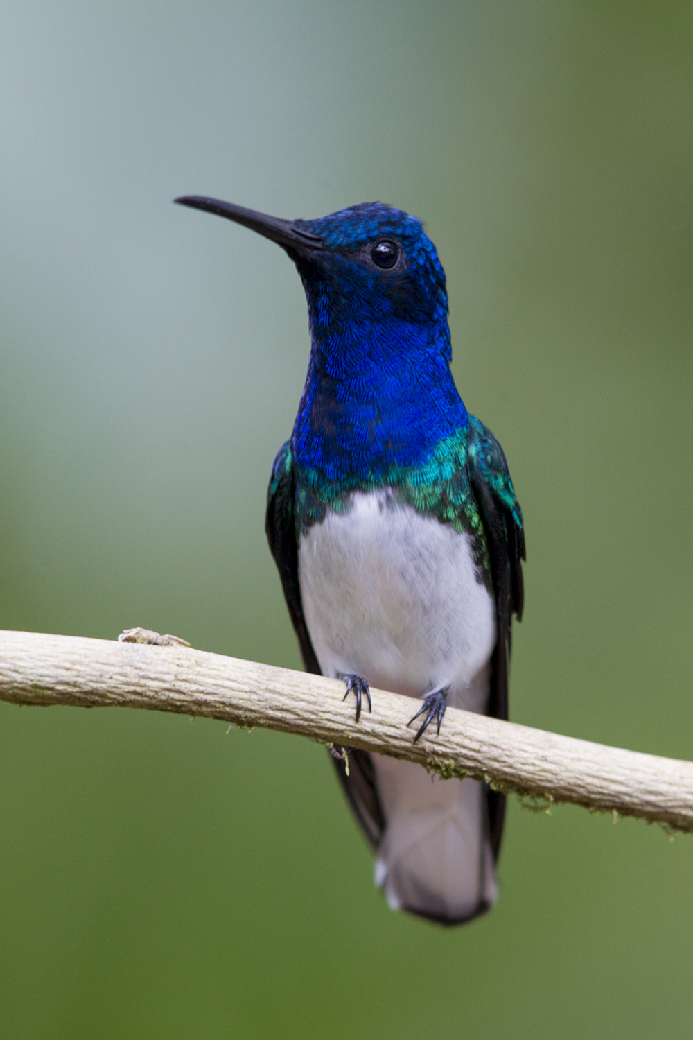 White-necked Jacobin - Tandayapa Lodge, Ecuador