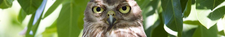 Barking Owl - Nightcliff Esplanade