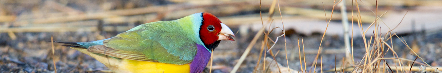 Gouldian Finch (Male Red-faced)