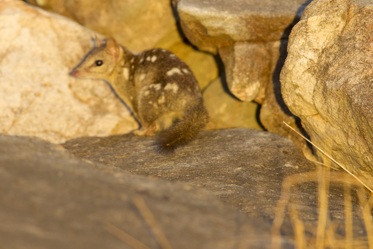 Northern Spotted Quoll1731