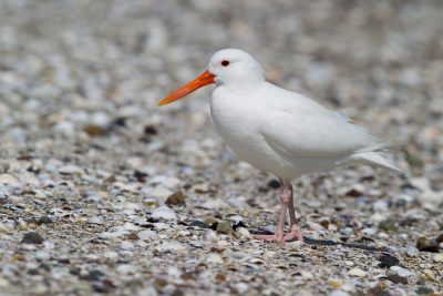 Albino Varied Oystercatcher - Northland, New Zealand