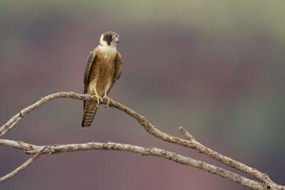 Australian Hobby (Falco longipennis) - Victoria River Region, NT