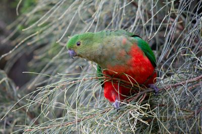 Australian King-Parrot - Female (Alisterus scapularis scapularis) - Great Ocean Road, VIC