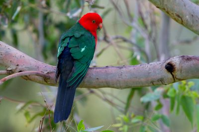 Australian King-Parrot - Male (Alisterus scapularis scapularis) - Great Ocean Road, VIC