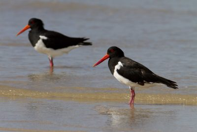Australian Pied Oystercatcher (Haematopus longirostris) Lee Point, NT