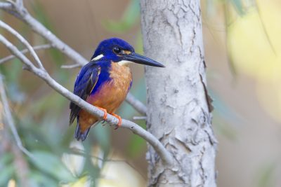 Azure Kingfisher (Northern - Ceyx azureus ruficollaris) - Mary River, NT