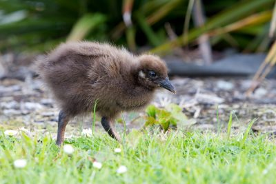 Baby Weka - South Island, New Zealand