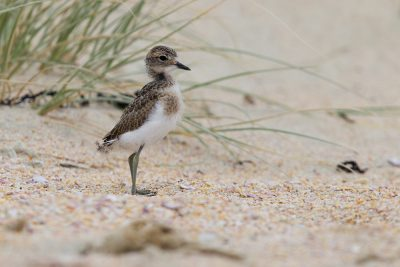Banded Dotterel (Baby)  - Northland, New Zealand