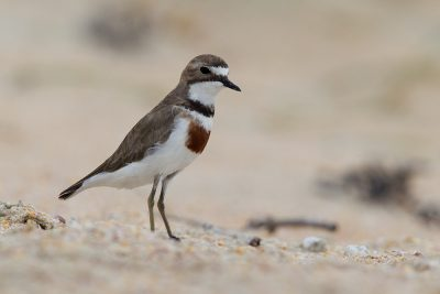 Banded Dotterel  - Northland, New Zealand