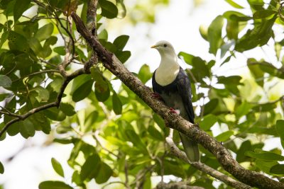 Banded Fruit-dove (Ptilinopus cinctus alligator)