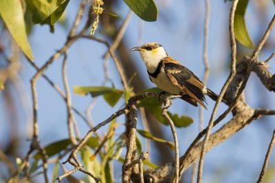 Banded Honeyeater (Cissomela pectoralis) - Marrakai Track, NT
