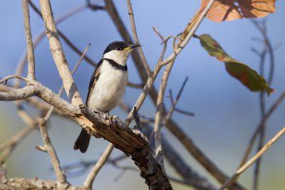 Banded Honeyeater (Cissomela pectoralis) - Victoria River Region, NT