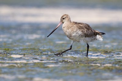 Bar-tailed Godwit  - Waipu, New Zealand