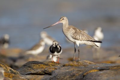 Bar-tailed Godwit (Limosa lapponica) - Nightcliff Rock, NT