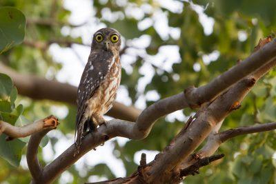 Barking Owl (Ninox connivens peninsularis) - Darwin Botanic Gardens, NT