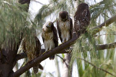 Barking Owl (Ninox connivens peninsularis) - Nightcliff Esplanade, NT (2)
