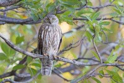 Barking Owl (Ninox connivens peninsularis) - Parrys Lagoon, WA