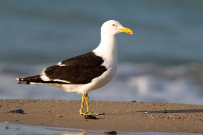 Black-backed Gull (Profile) - Northland, New Zealand