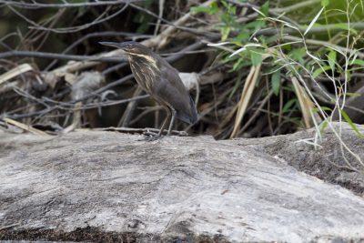 Black Bittern (Ixobrychus flavicollis australis) - Gunlom Falls, NT