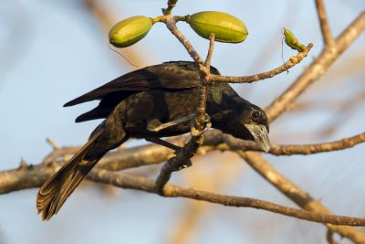 Black Butcherbird (Cracticus quoyi spaldingi) - East Point, NT (2)