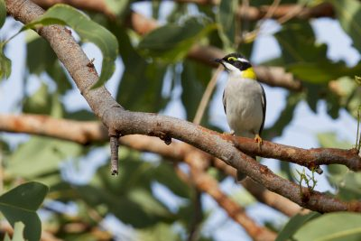 Black-chinned Honeyeater (Melithreptus gularis laetior) - Victoria River Region, NT