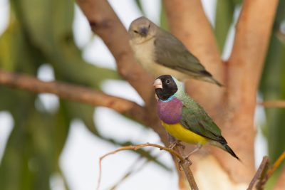 Black-faced Gouldain Finch (Erythrura gouldiae) - Keep River National Park, NT (2)