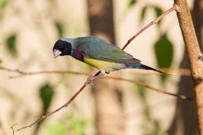 Black-faced Gouldain Finch (Erythrura gouldiae) - Parrys Lagoon, WA