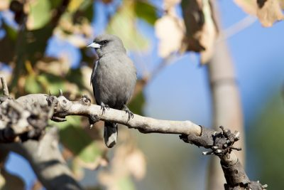 Black-faced Woodswallow (Artamus cinereus melanops) - Marrakai Track, NT