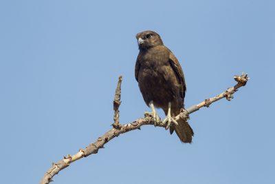 Black Falcon (Falco subniger) - Pine Creek, NT