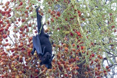 Black Flying Fox.