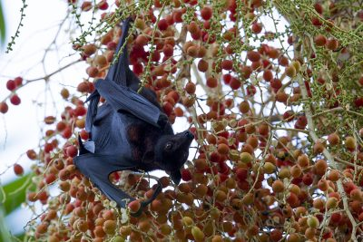 Black Flying Fox (Fruit Bat)
