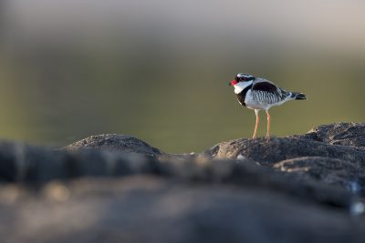 Black-fronted Dotterel (Elseyornis melanops) - Arnhemland, NT