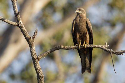 Black Kite (Milvus migrans affinis) - Victoria River Region, NT