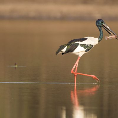 Storks, Pelican, Ibis & Spoonbills
