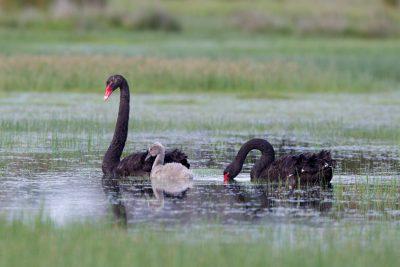 Black Swan (Cygnus atratus) - Tasmania