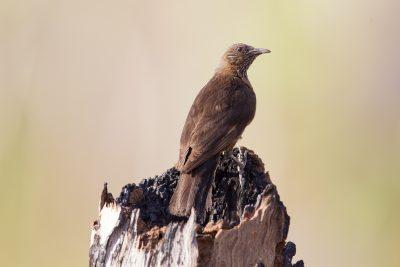Black-tailed Treecreeper (Climacteris melanura melanura) - Marrakai Track, NT