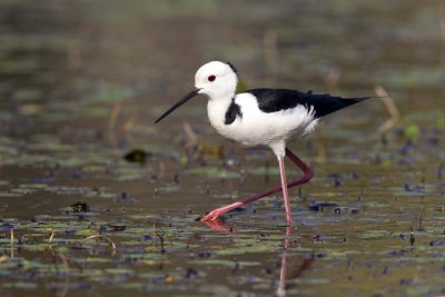 Black-winged Stilt (Himantopus leucocephalus) - Darwin, NT