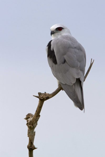 Blacks-shouldered Kite (Elanus axillaris) - Fogg Dam, NT